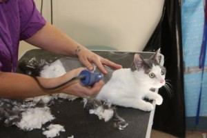 Cat grooming in Tucson Arizona