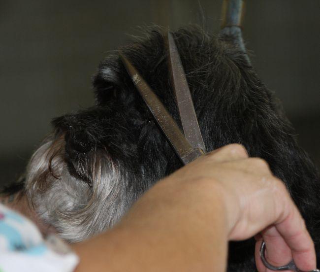 Scissoring poodle head