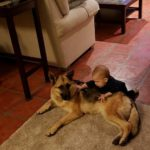German Shepherd female adoption