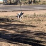 Boxer boarding Camino Verde Pet Resort
